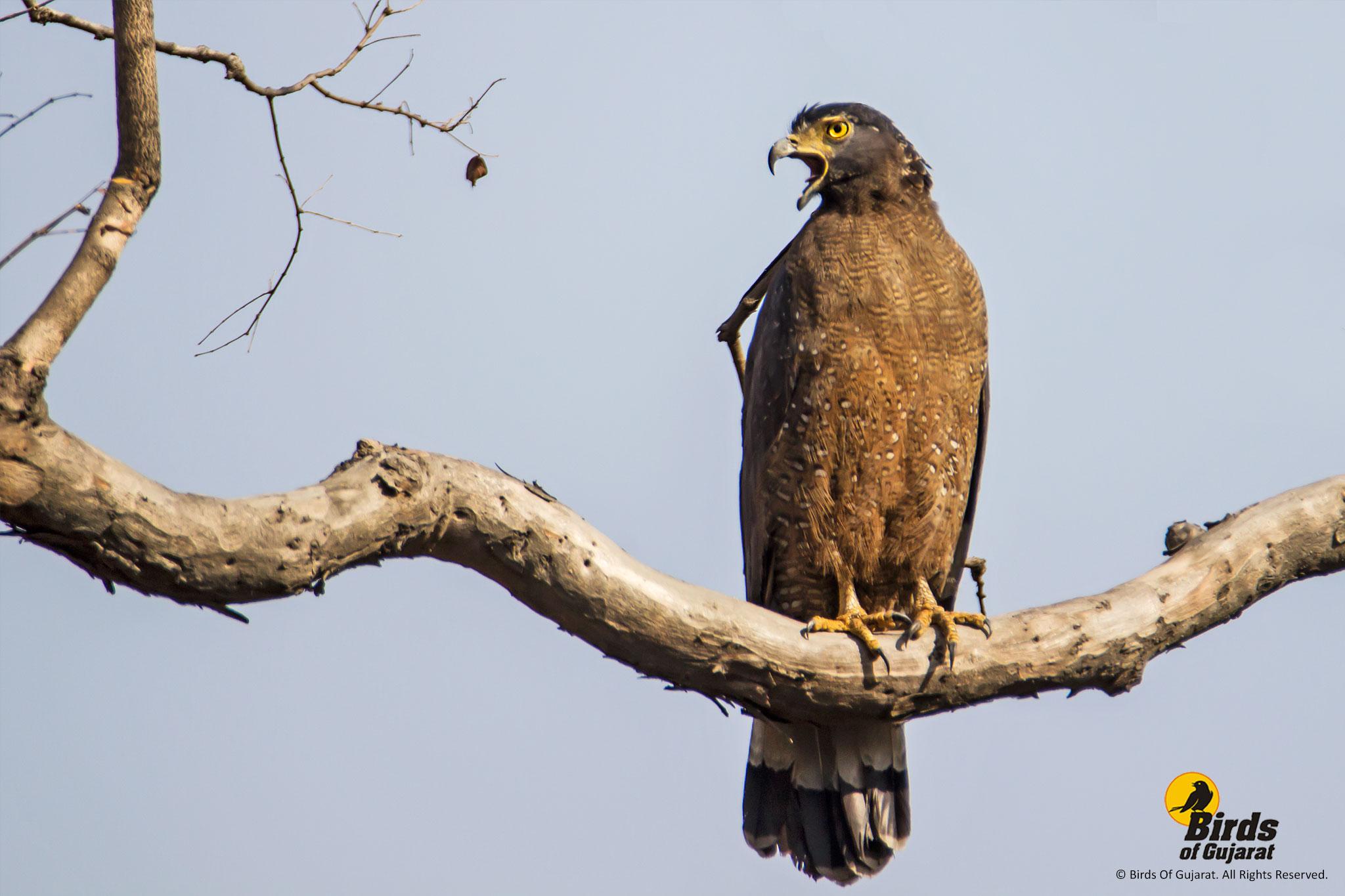 Crested Serpent Eagle