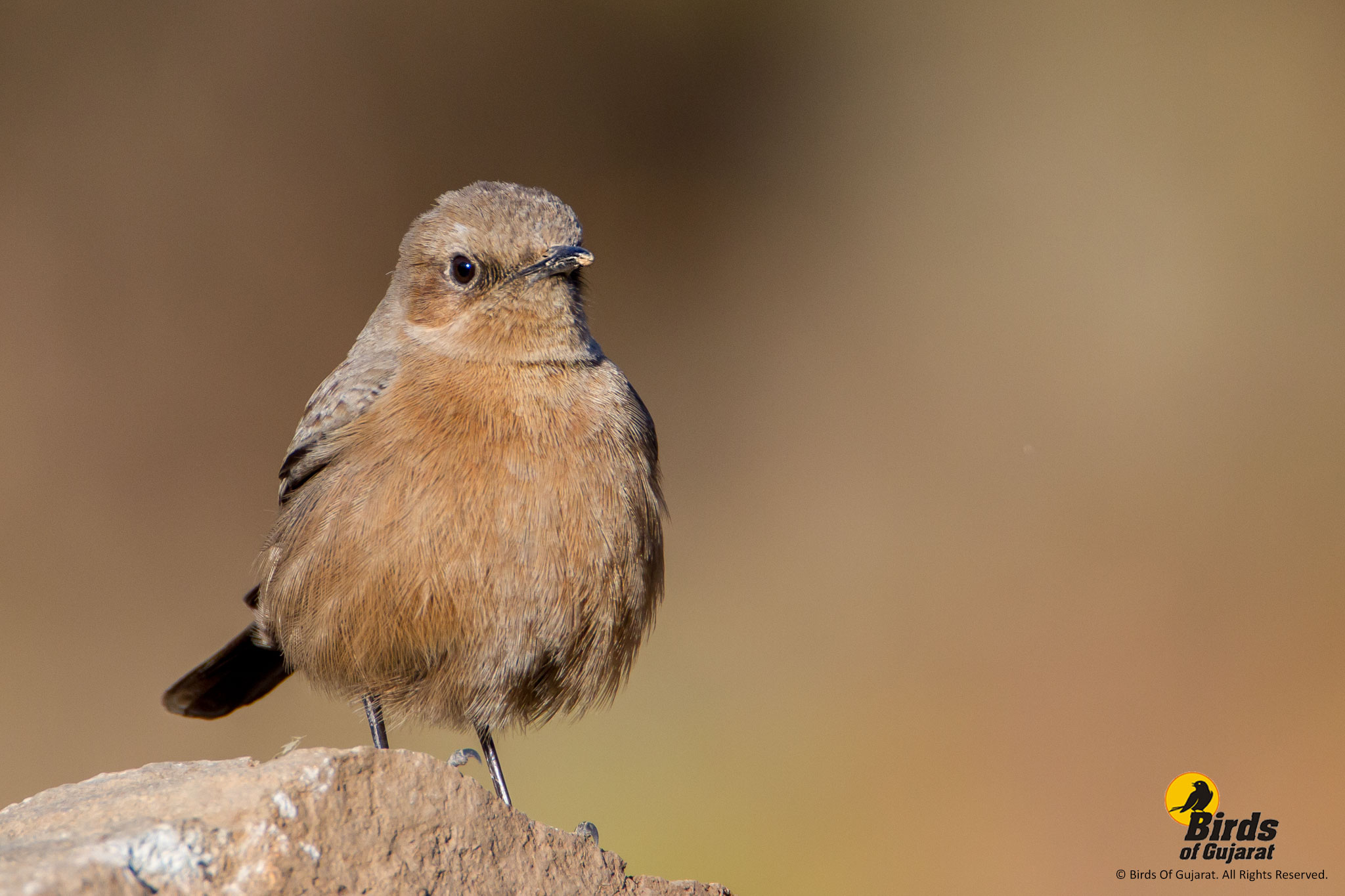 indian chat or brown rock chat cercomela fusca birds of gujarat