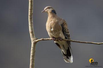 Oriental Turtle Dove